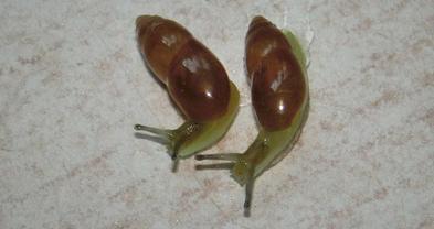 CIMG0590 Ferussacia folliculum, el Carmel